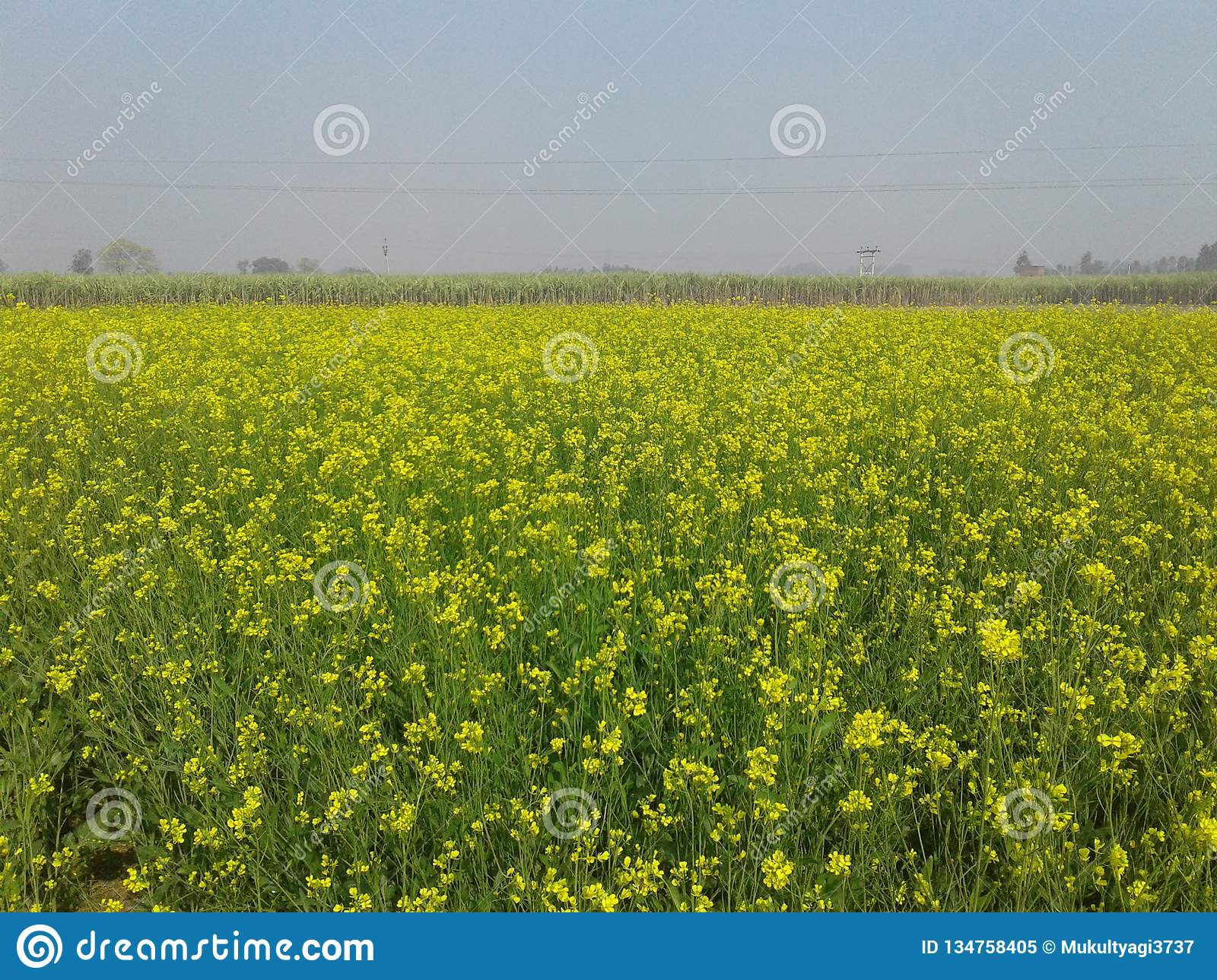 Beautiful Mustard Field With Yellow Flowers And Green Leaves Stock