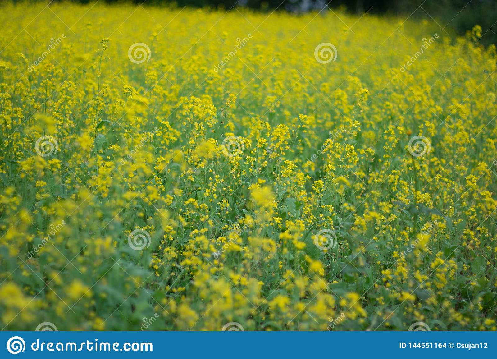Mustard plant in spring