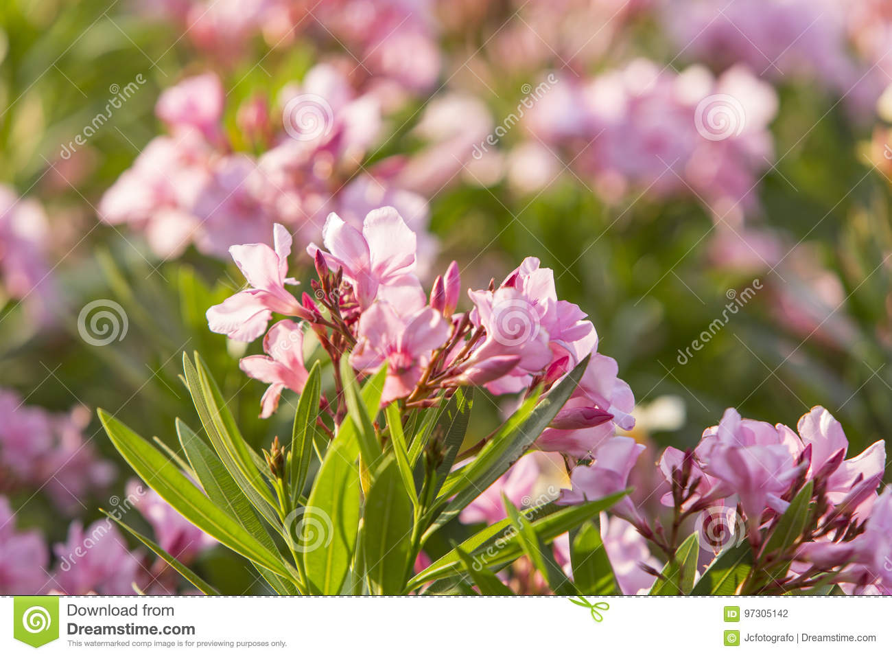 Beautiful natural flowers stock photo image of botany 97305142 download beautiful natural flowers stock photo image of botany 97305142 izmirmasajfo