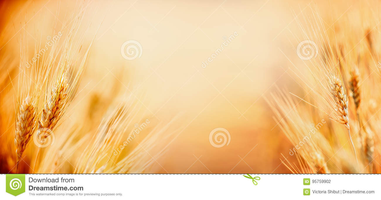 Beautiful nature background with close up of Ears of ripe wheat on Cereal field, place for text close up, fame. Agriculture farm