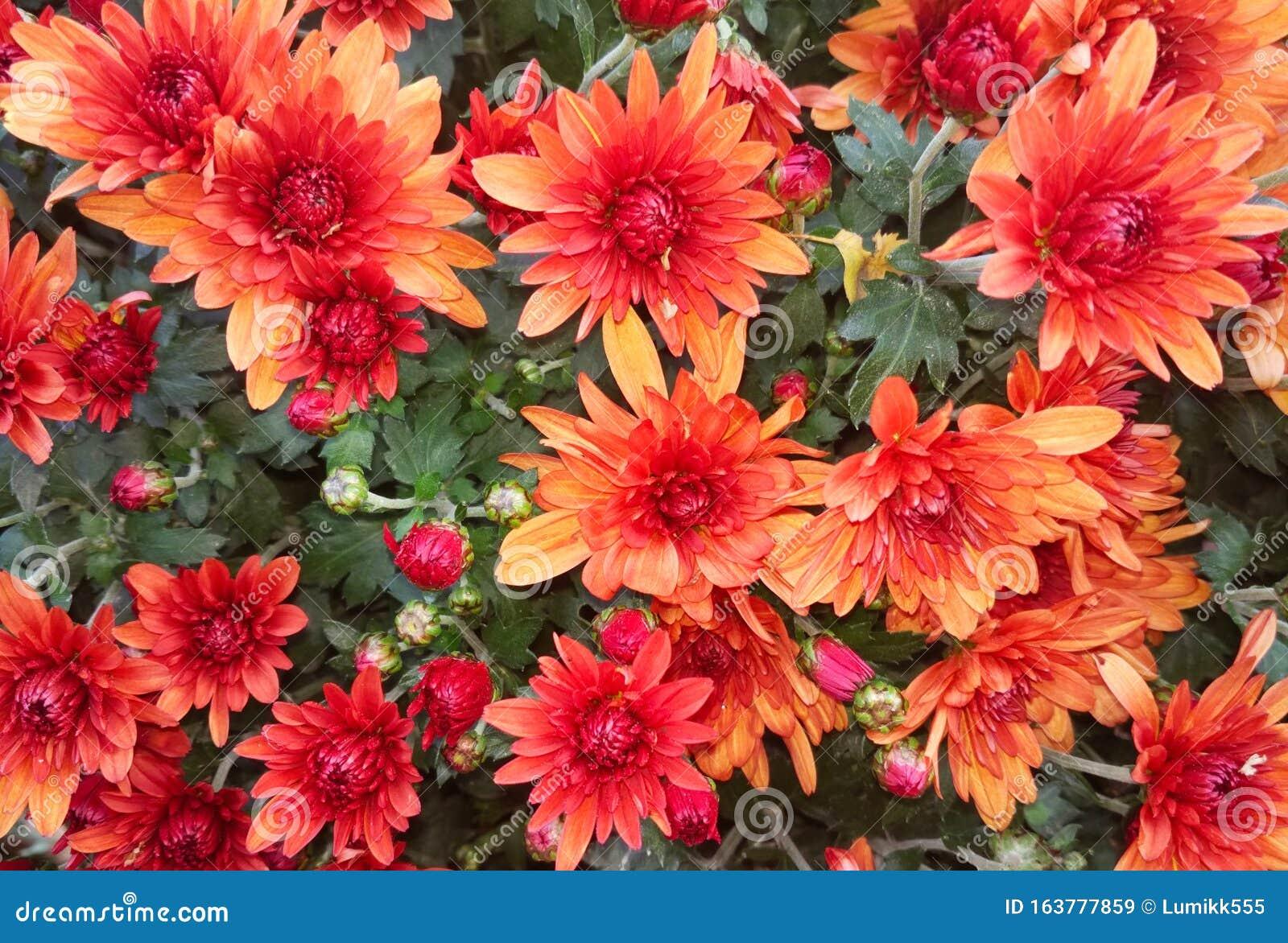 Beautiful Nature Background Of Red Orange Chrysanthemum Flowers