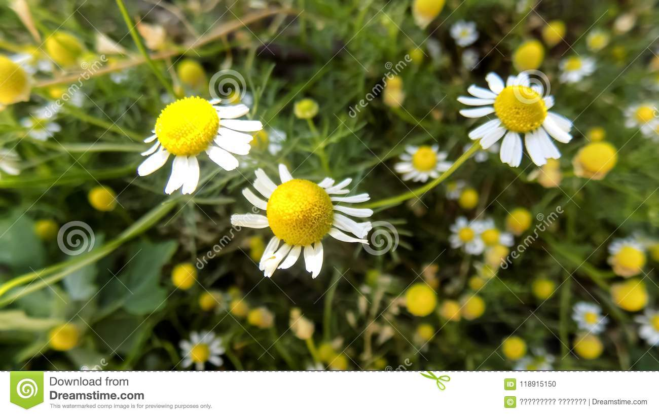 beautiful nature backgrounds. chamomile backgrounds. flower