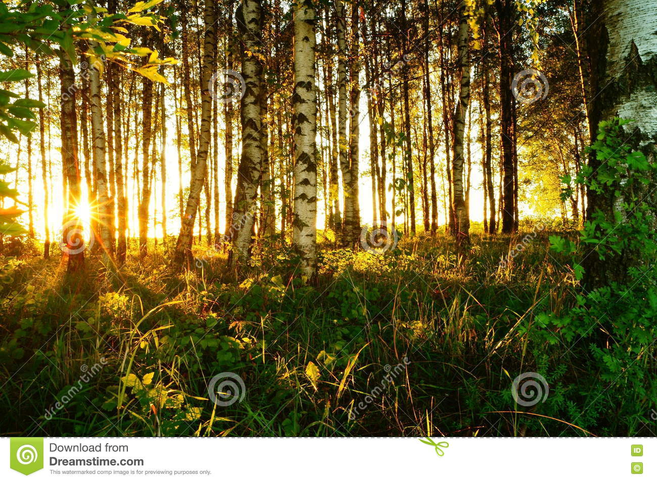 Download Beautiful Nature At Evening In The Summer Forest On Sunset Stock Photo