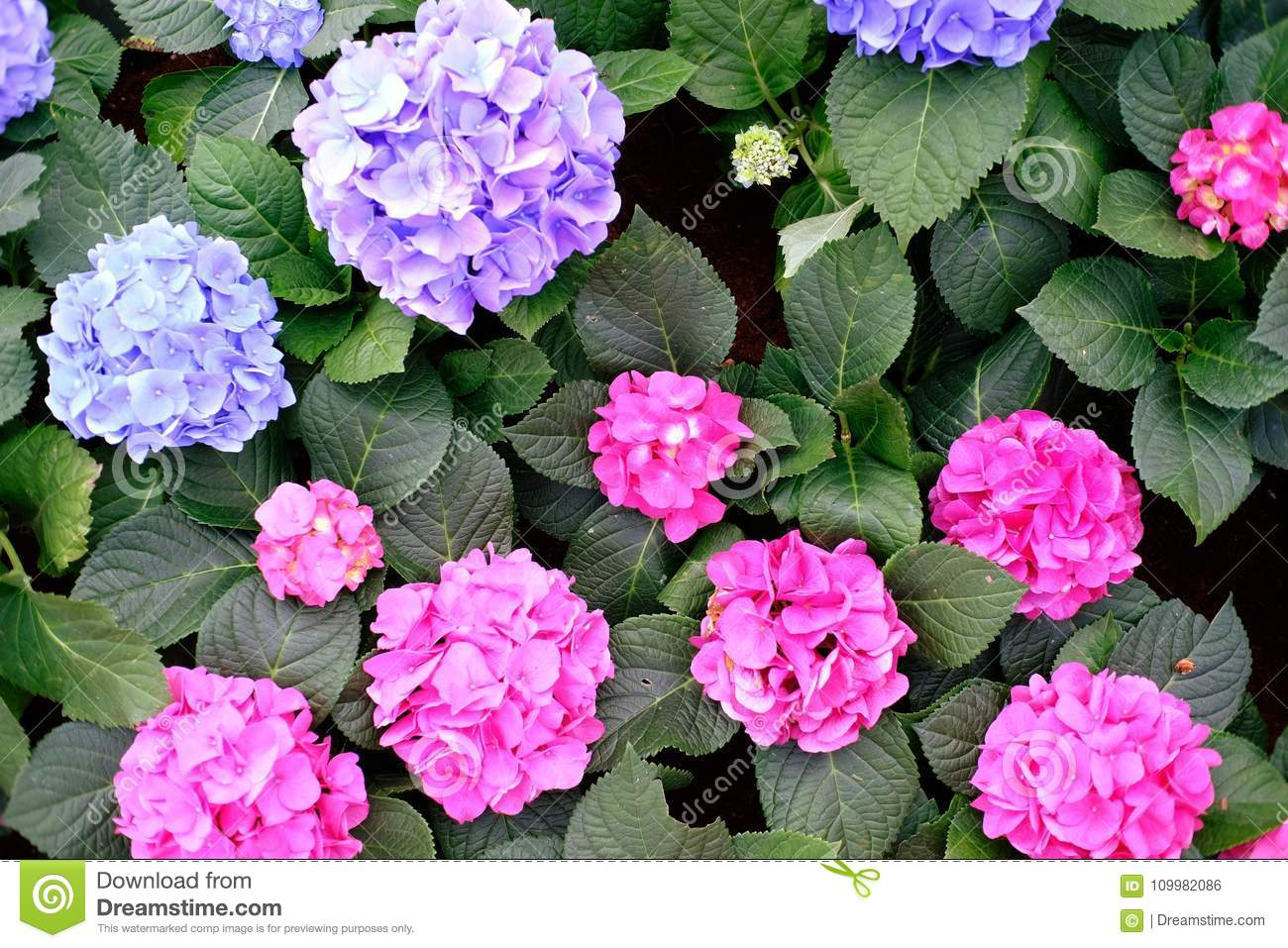 Beautiful Nature Pinks Flower In Nature Garden Stock Photo Image