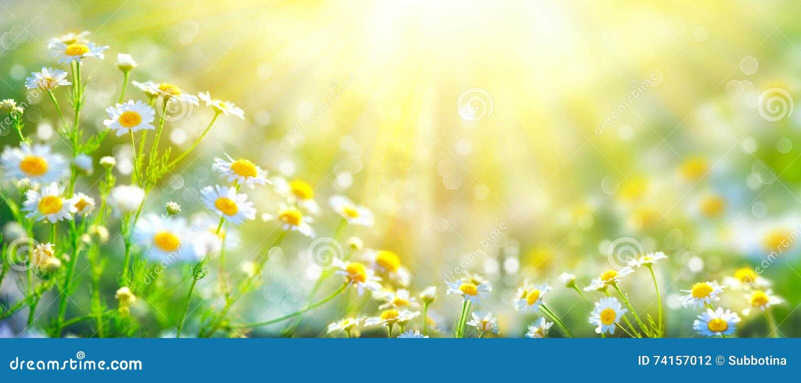 Beautiful nature scene with blooming chamomiles