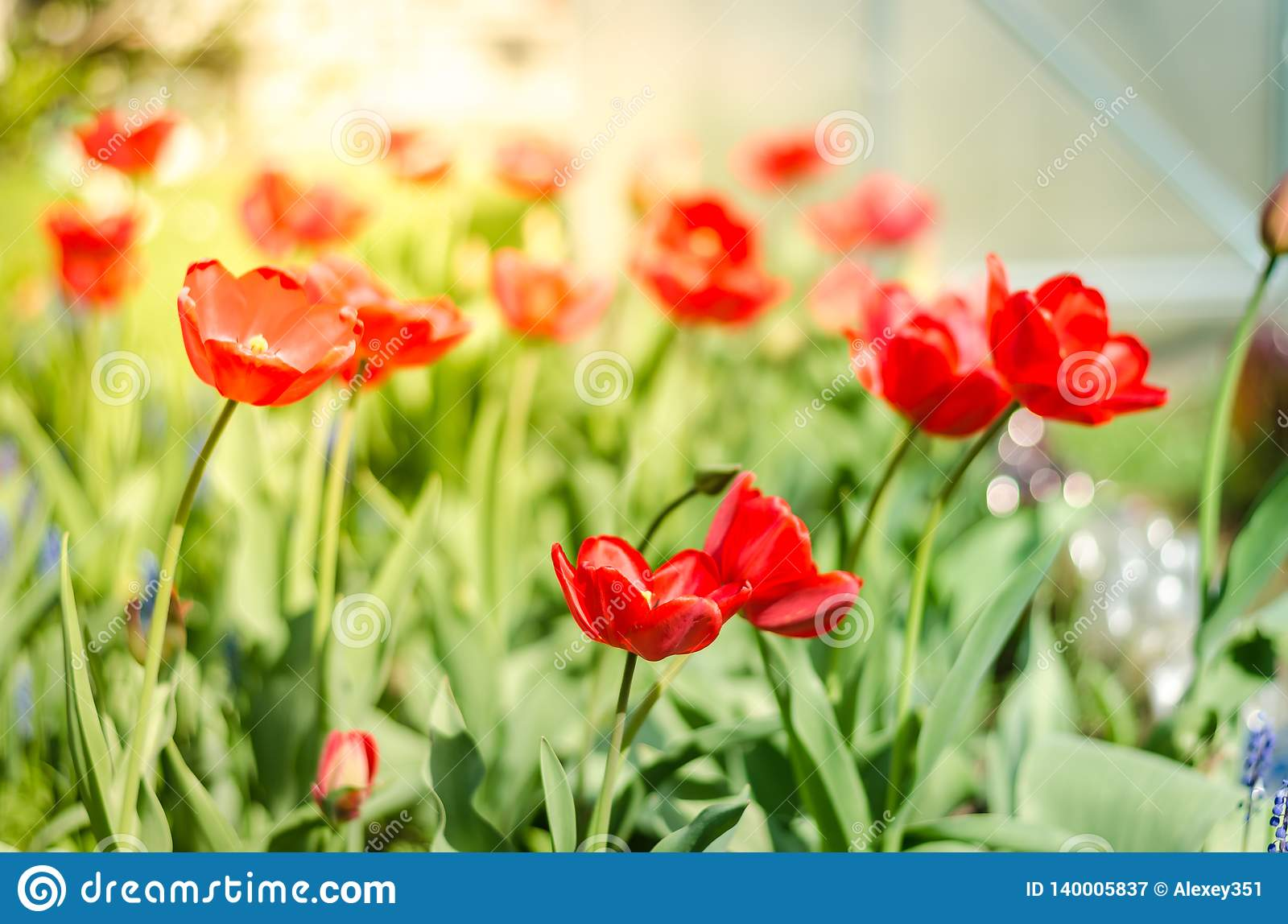 Beautiful nature scene with blooming red tulip in sun flare/Beautiful meadow. Field flowers red tulip