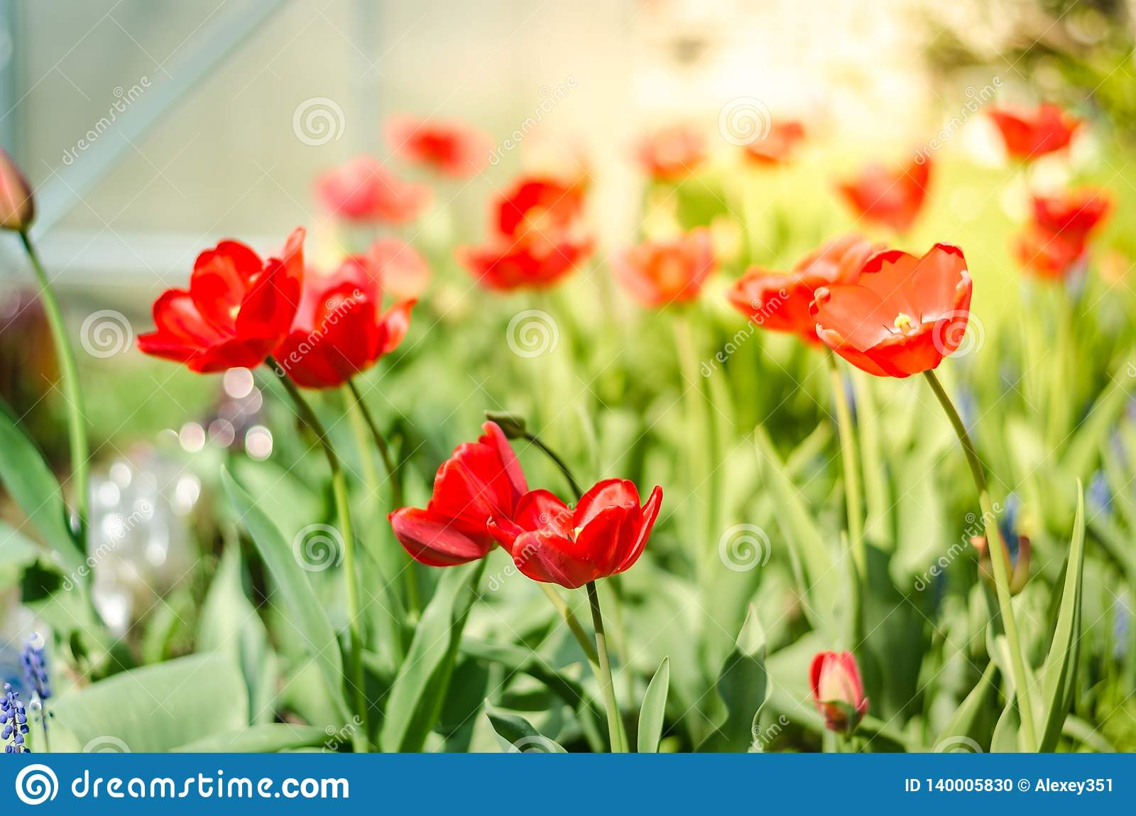 Beautiful nature scene with blooming red tulip in sun flare/ Spring flowers. Beautiful meadow. Field flowers tulip