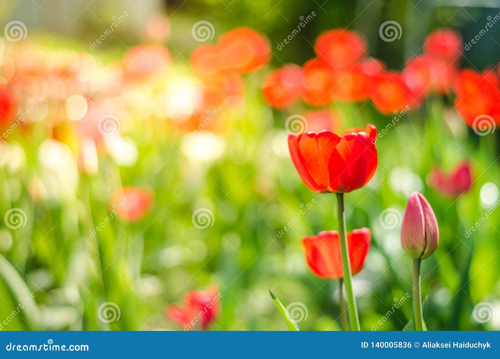 Beautiful nature scene with blooming tulip in sun flare /Beautiful meadow. Field flowers tulip