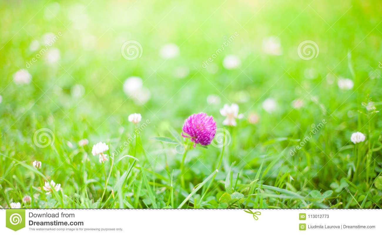 summer outdoors wallpaper. Download Nature Summer Background With Clover Flowers Stock Image - Of Outdoors, Flower: Outdoors Wallpaper