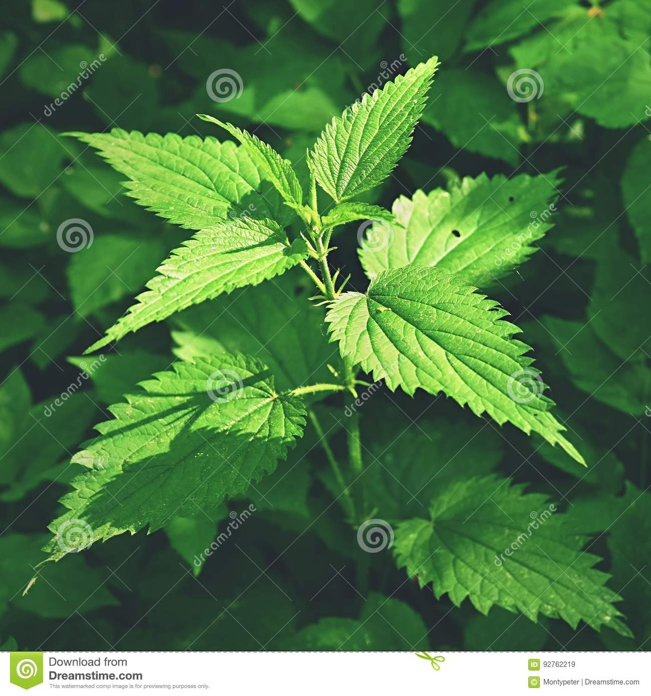 Beautiful nettle in nature with sun. Urtica dioicaBeautiful nettle in nature with sun. Urtica dioica. A healthy herb.