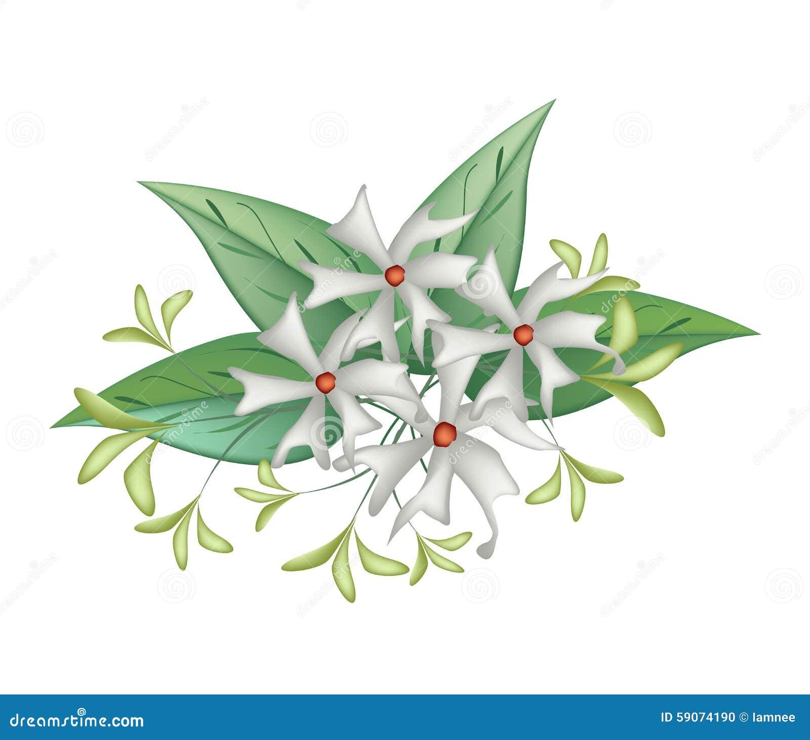 Beautiful night blooming jasmine on white background stock vector beautiful night blooming jasmine on white background izmirmasajfo