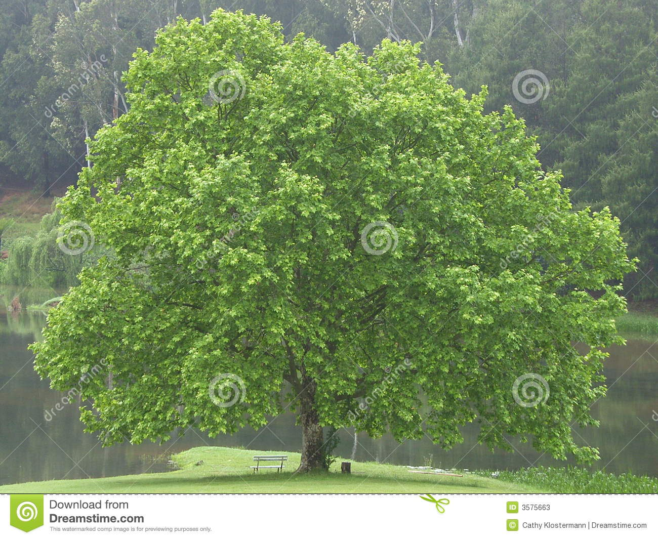 BEAUTIFUL OAK TREE stock image. Image of tree, full ...