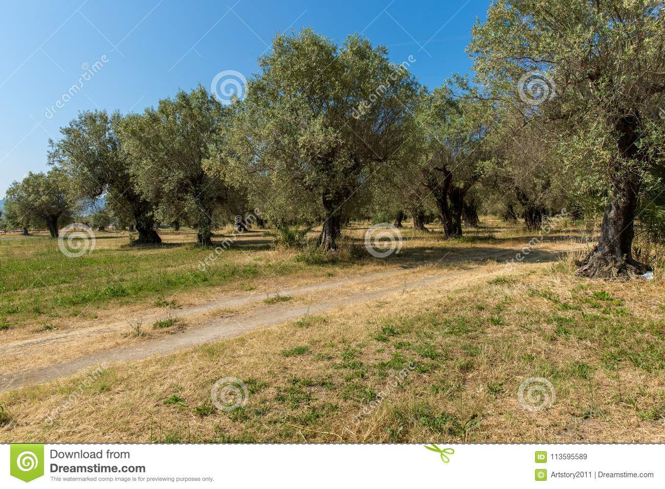The olives in Paestum.