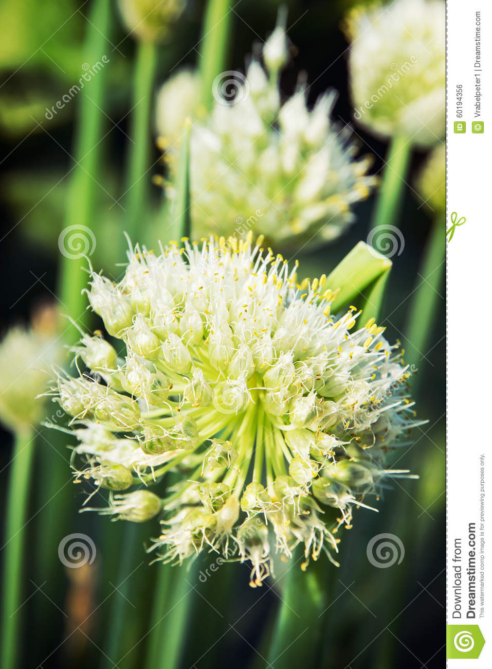Beautiful onion plant stock photo image 60194356 for Dream plants for the natural garden