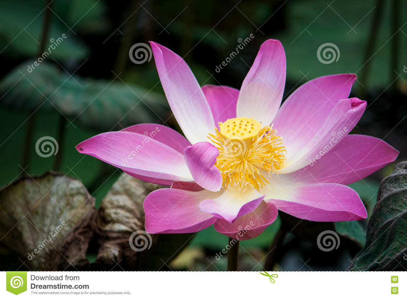 Beautiful open lotus flower stock photo image of closeup colorful beautiful open lotus flower izmirmasajfo