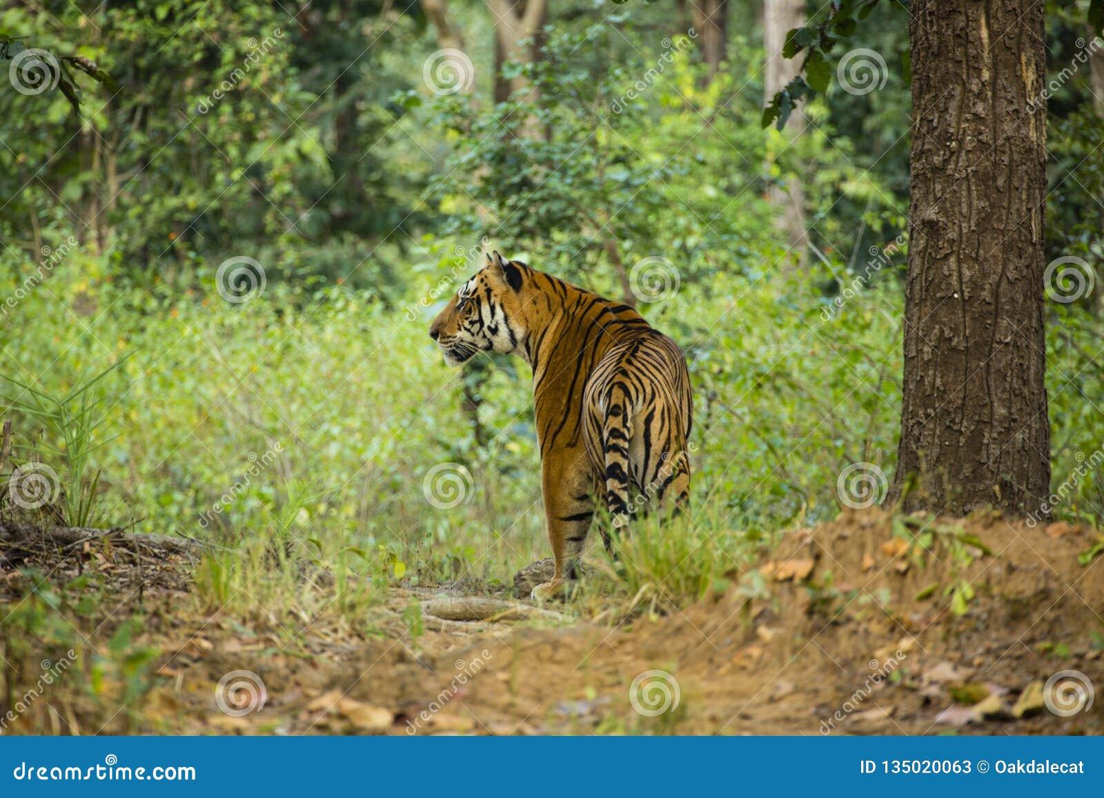 Wild Tiger in Jungle stock image  Image of jungle, feline
