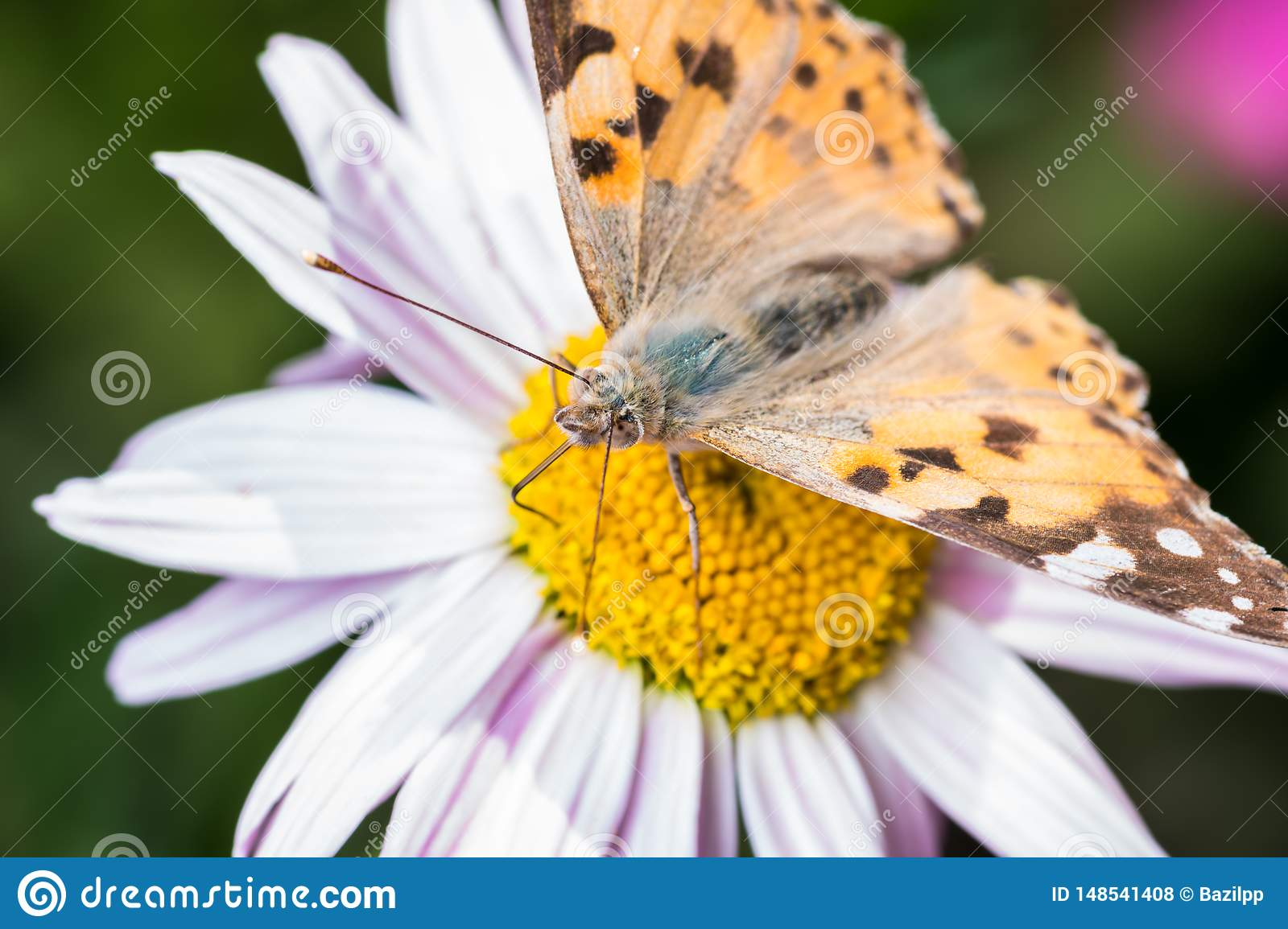 A beautiful orange brown butterfly sits on a flower ith a yellow middle.