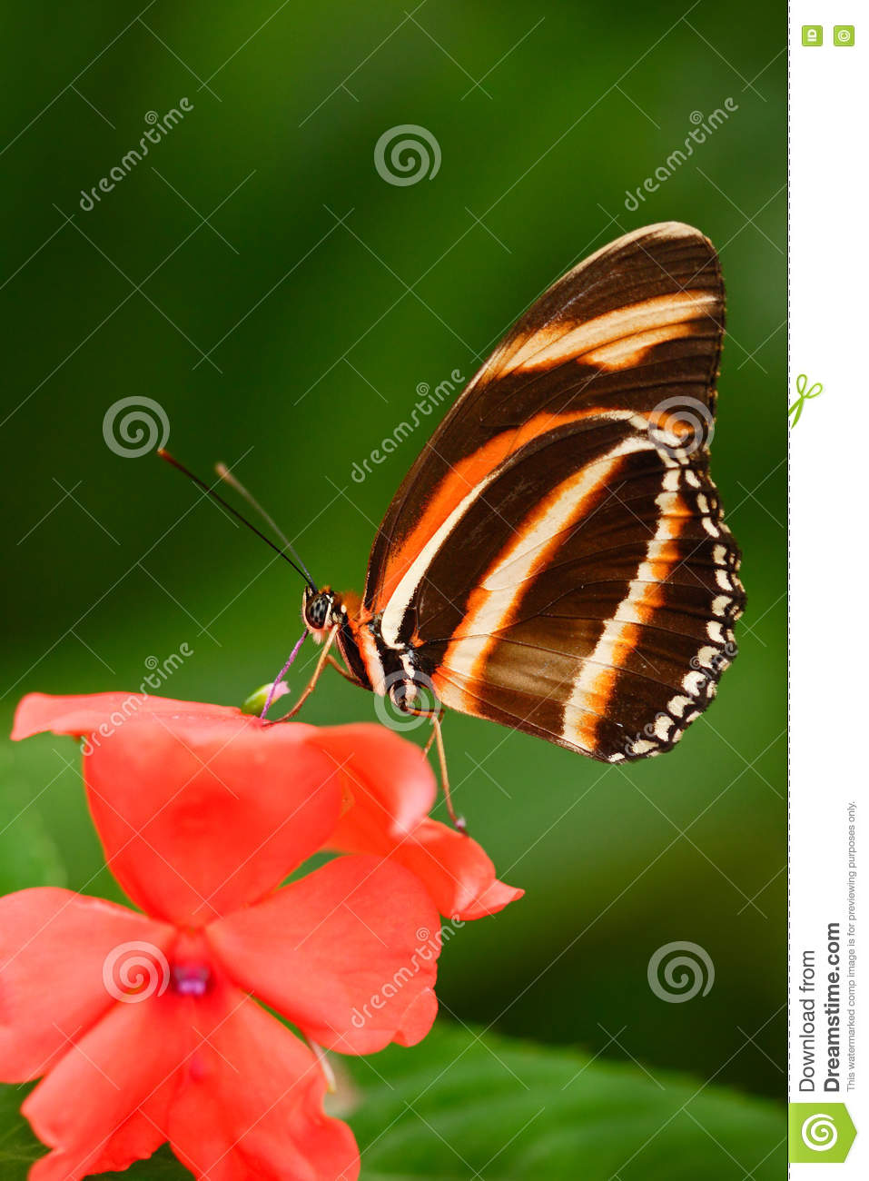 Beautiful orange butterfly Zebra Longwing, Heliconius charitonius. Butterfly in nature habitat. Nice insect from Costa Rica. Butte