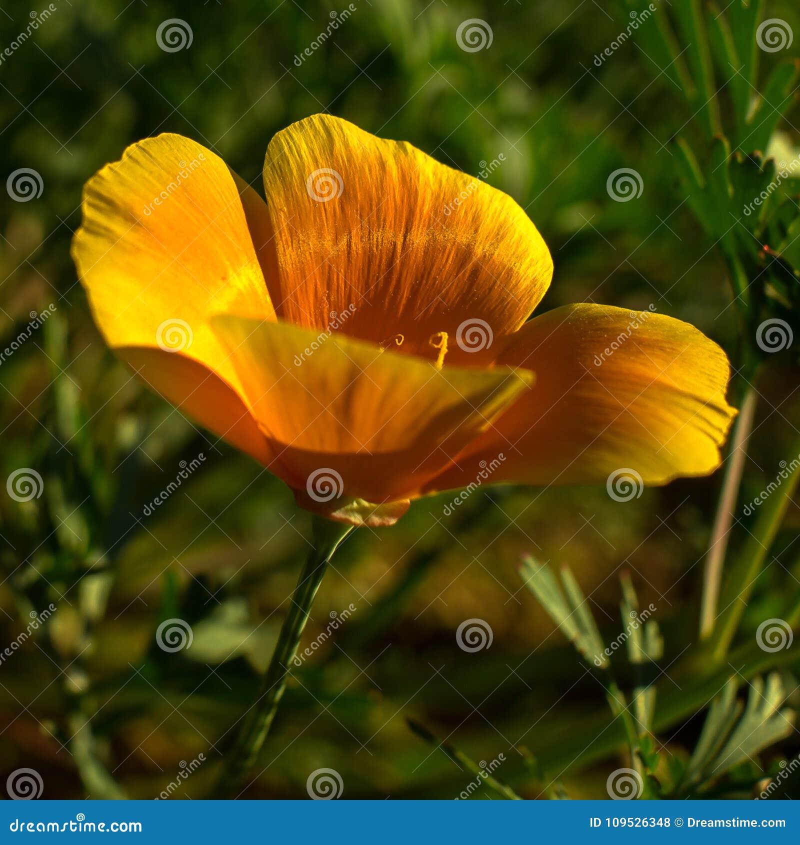 Beautiful Orange California Poppy Flower Blooming In A Green Field