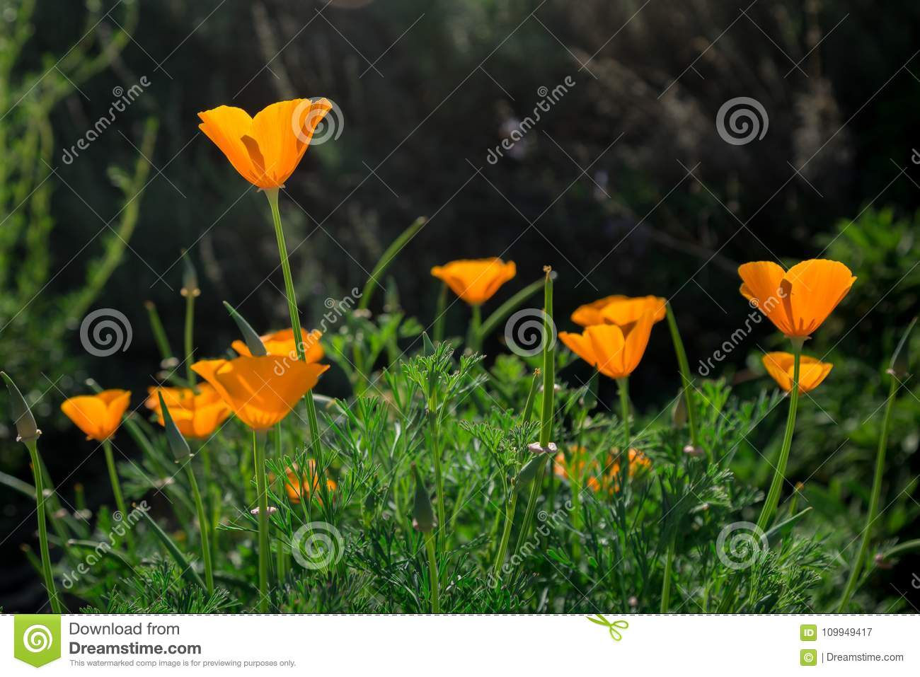 Closeup Of California Orange Poppy Flowers Blooming In A Green Field