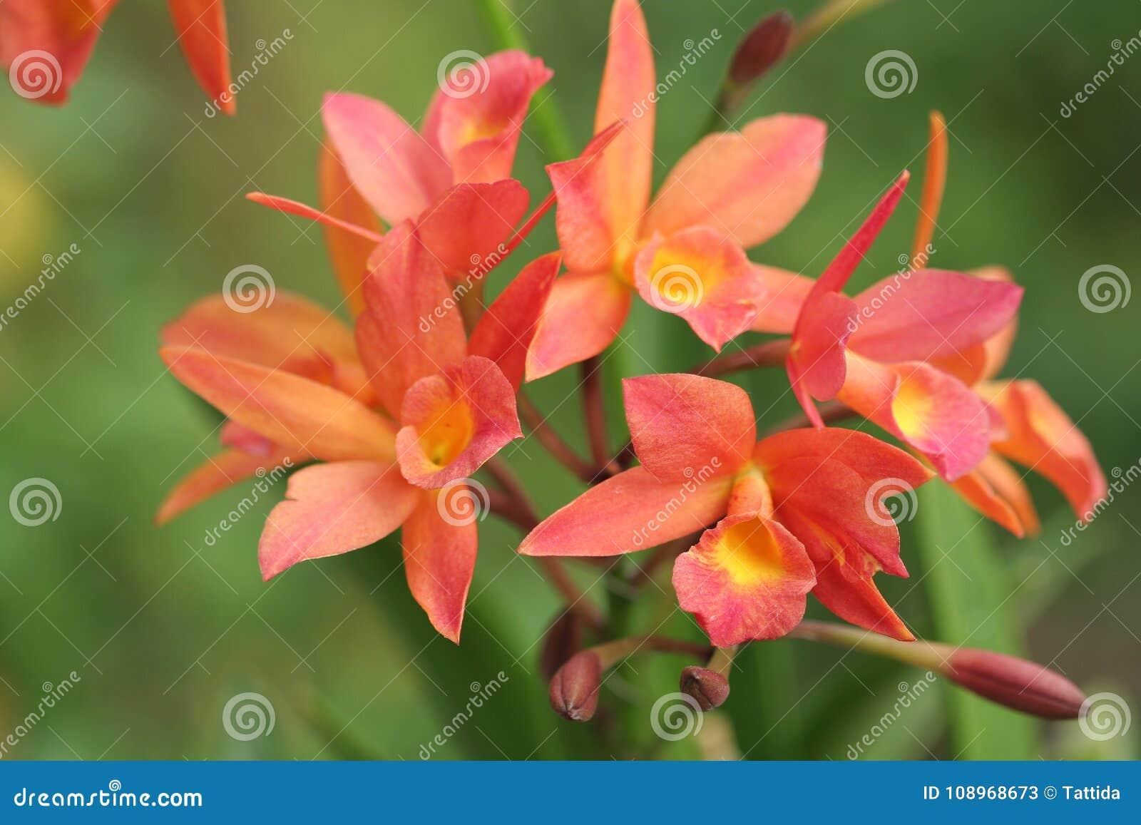 Beautiful Orange Cattleya Orchids Very Beautiful Every Elegant