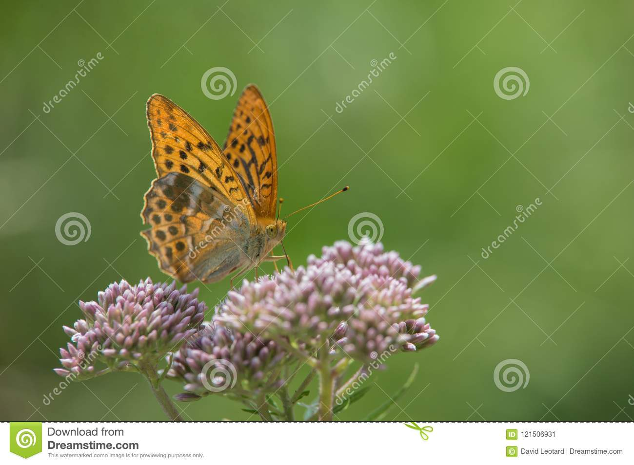 Insect alone large pearly orange brown butterfly posed on a white flower close up