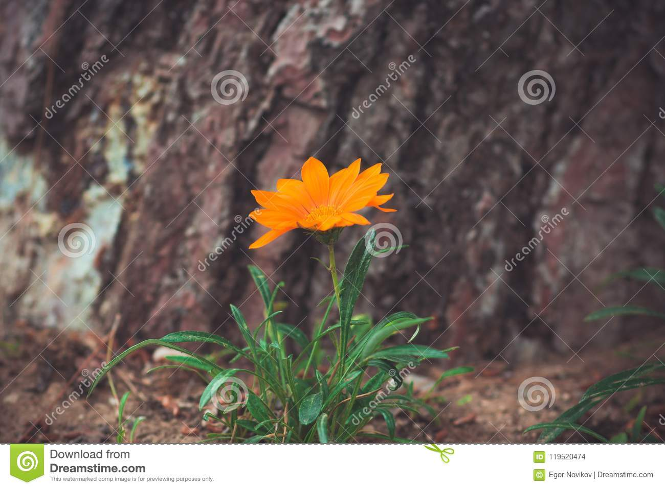 Beautiful orange flower on a background of a bark of a tree