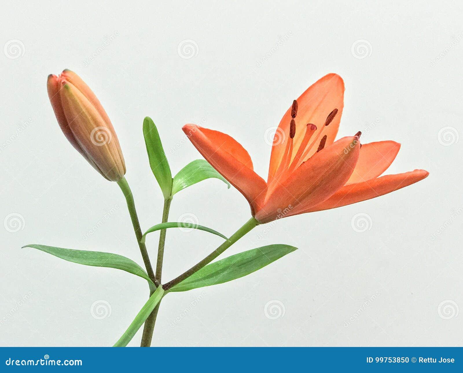 Beautiful Orange Flower With White Background Stock Photo Image Of