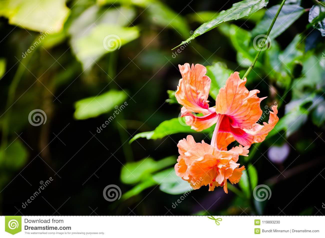 Beautiful orange hibiscus flower in a spring season at a botanical a beautiful orange hibiscus flowering plants in the mallow family malvaceae in a spring season at a botanical garden izmirmasajfo