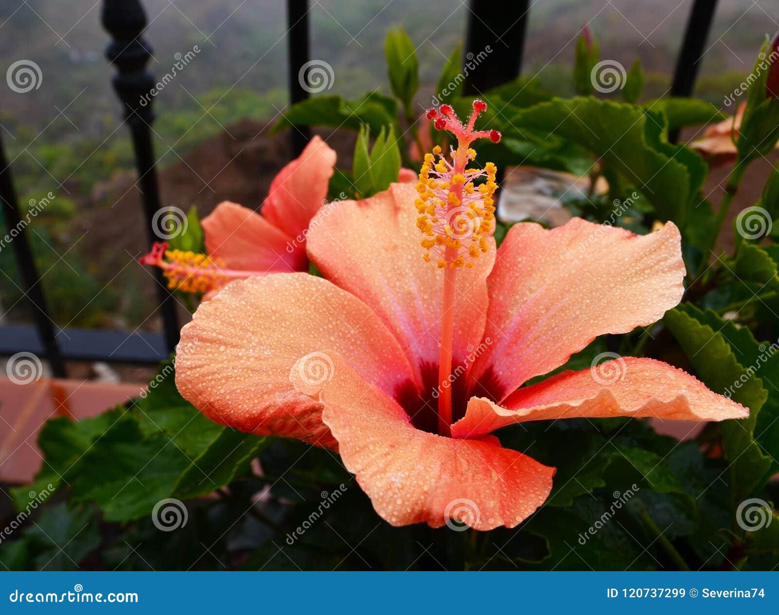 Beautiful Orange Hibiscus Flowers China Rosegudhalchabashoe