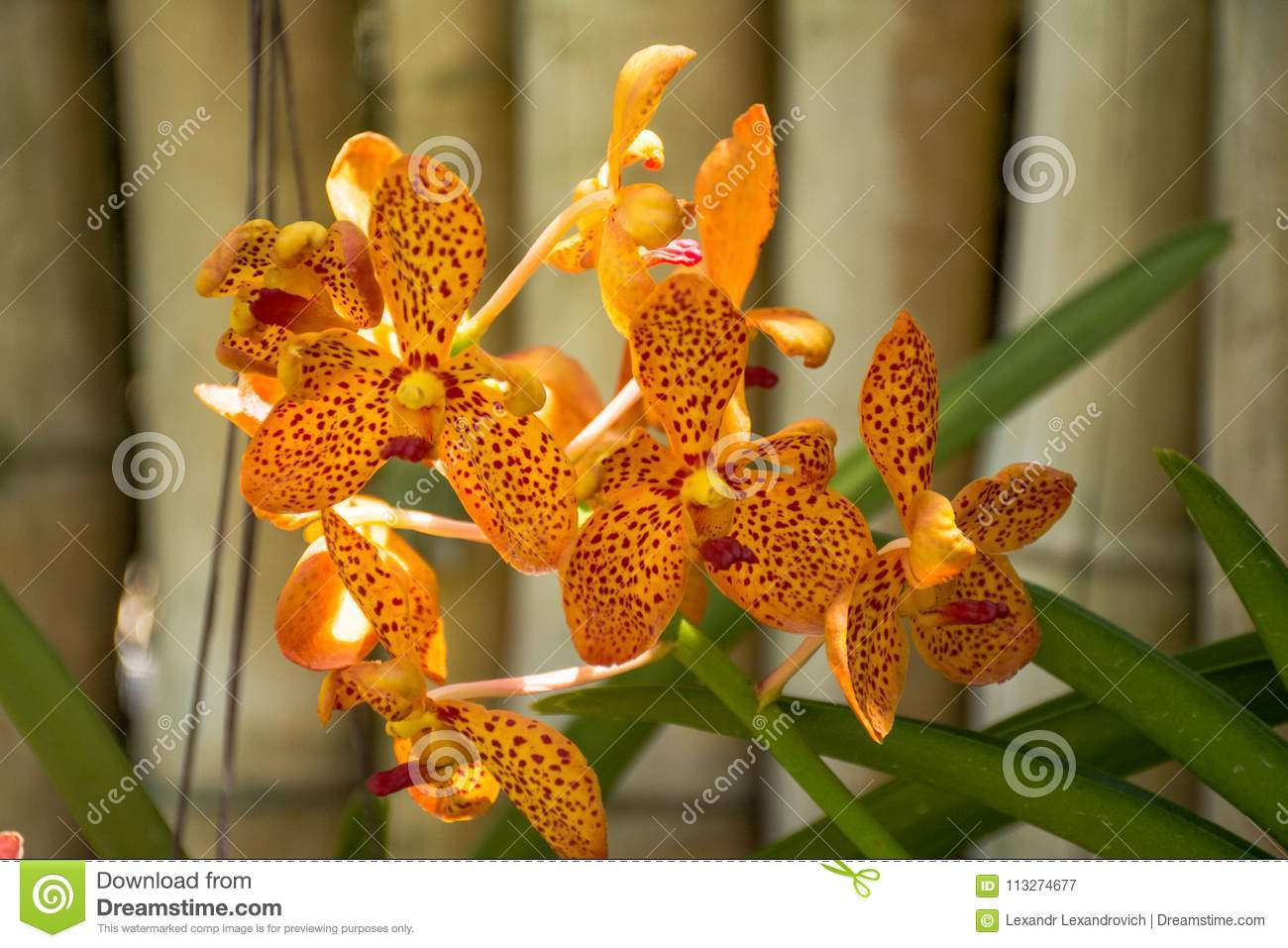 Download Beautiful Orange Orchid Flowers In The Tropical Garden Stock Image