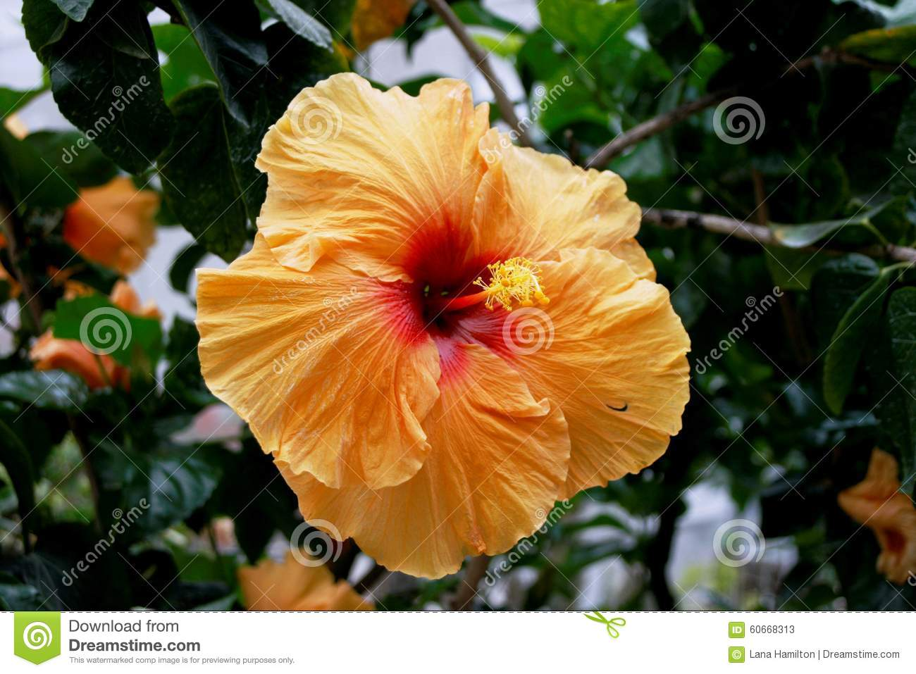 Hibiscus Are Very Beautiful With Yellow And Red 64
