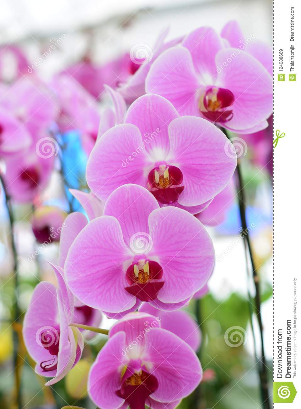 Beautiful orchid flowers stock image image of closeup 124088669 download beautiful orchid flowers stock image image of closeup 124088669 izmirmasajfo