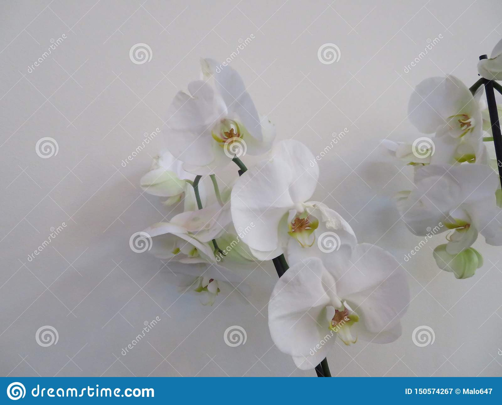 Beautiful orchid in an incredible color and of great beauty