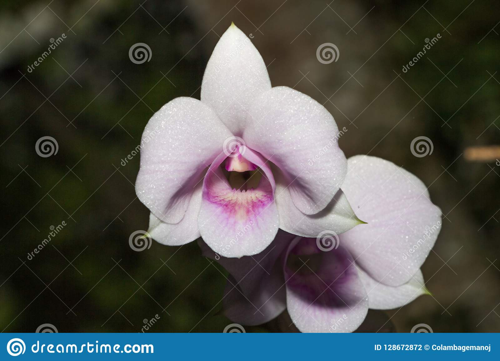 Beautiful Orchid, srilankan Orchid Farm