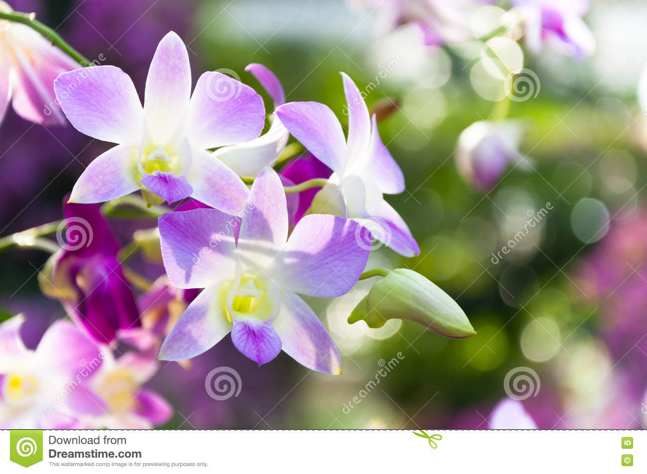 Beautiful Orchids Flowers Violet Tropical Thailand Stock Photo