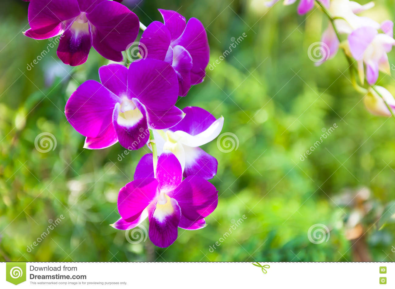 Beautiful Orchids Flowers Violet Tropical Thailand Stock Image