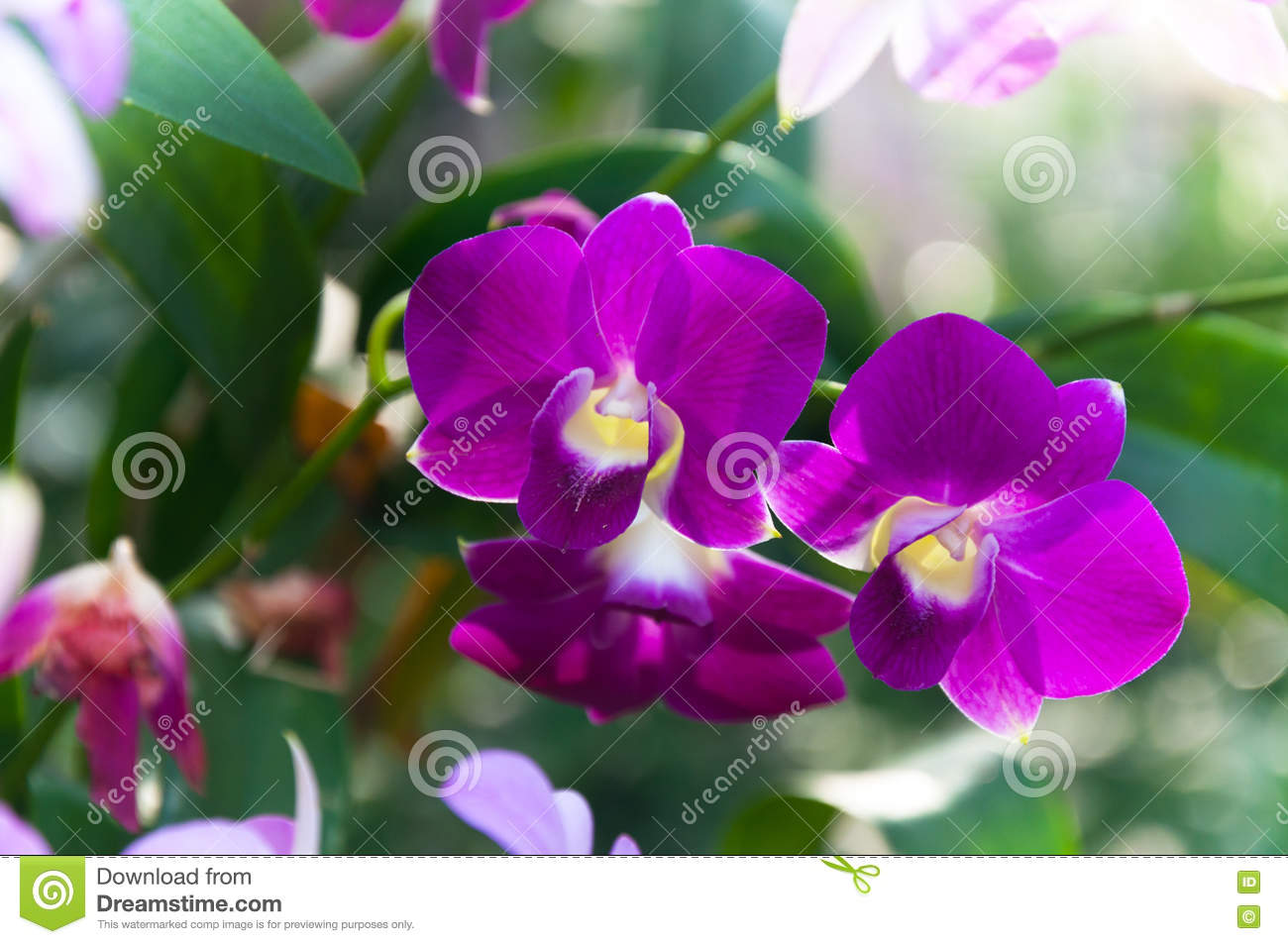 Beautiful Orchids Flowers Violet Tropical Thailand Are Blooming