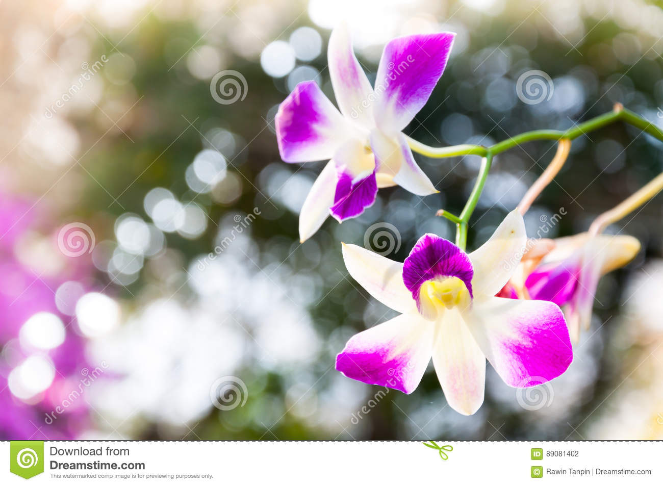 Beautiful Orchids Flowers Violet Tropical Thailand Are Blooming In