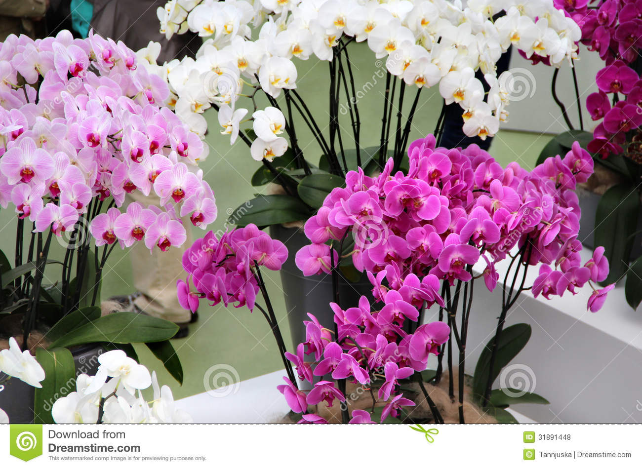 Beautiful orchids in the vases stock photo image 31891448 beautiful orchids in the vases reviewsmspy