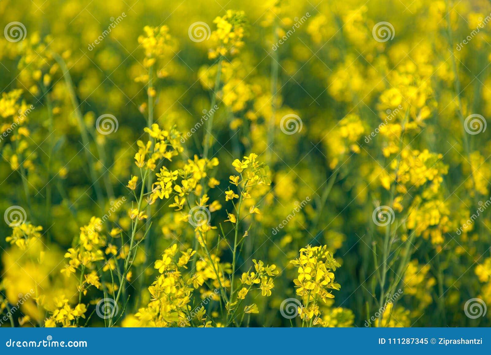 Beautiful Organic Yellow Mustard Flowers In Field Stock Image