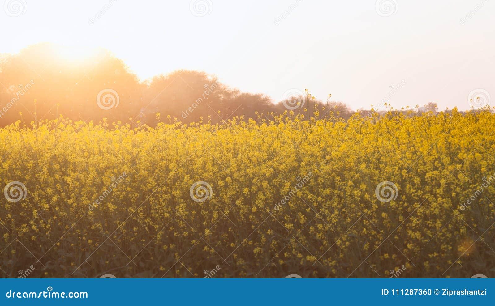 Beautiful Organic Yellow Mustard Flowers In Field Stock Photo