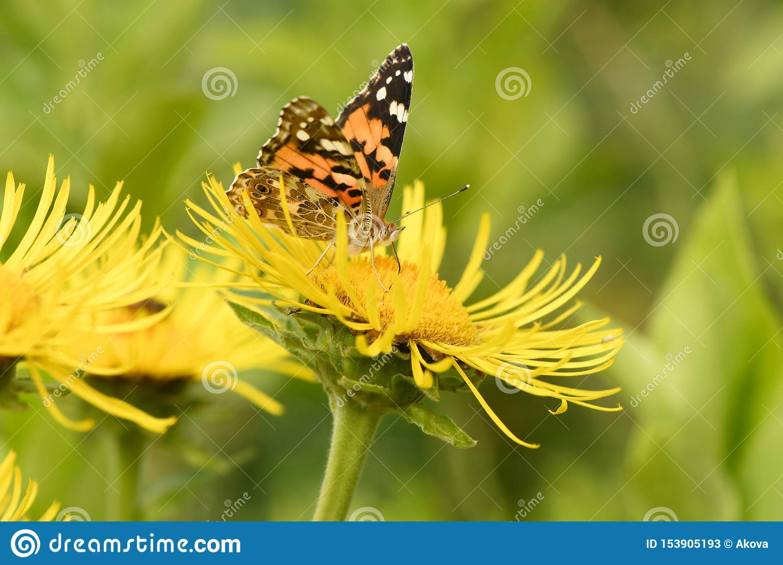 Beautiful painted lady Vanessa cardui pollinating at bright elecampane flowers