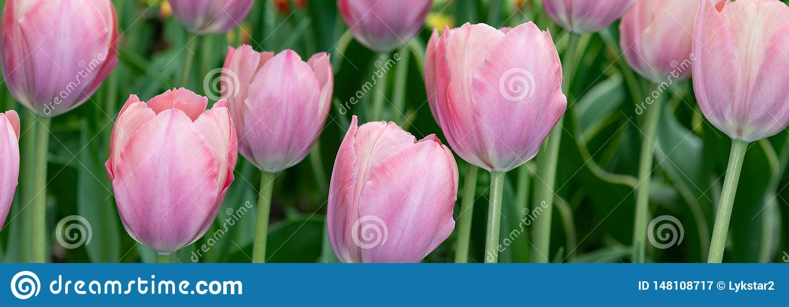 Beautiful pale pink tulips blooming in the spring Park