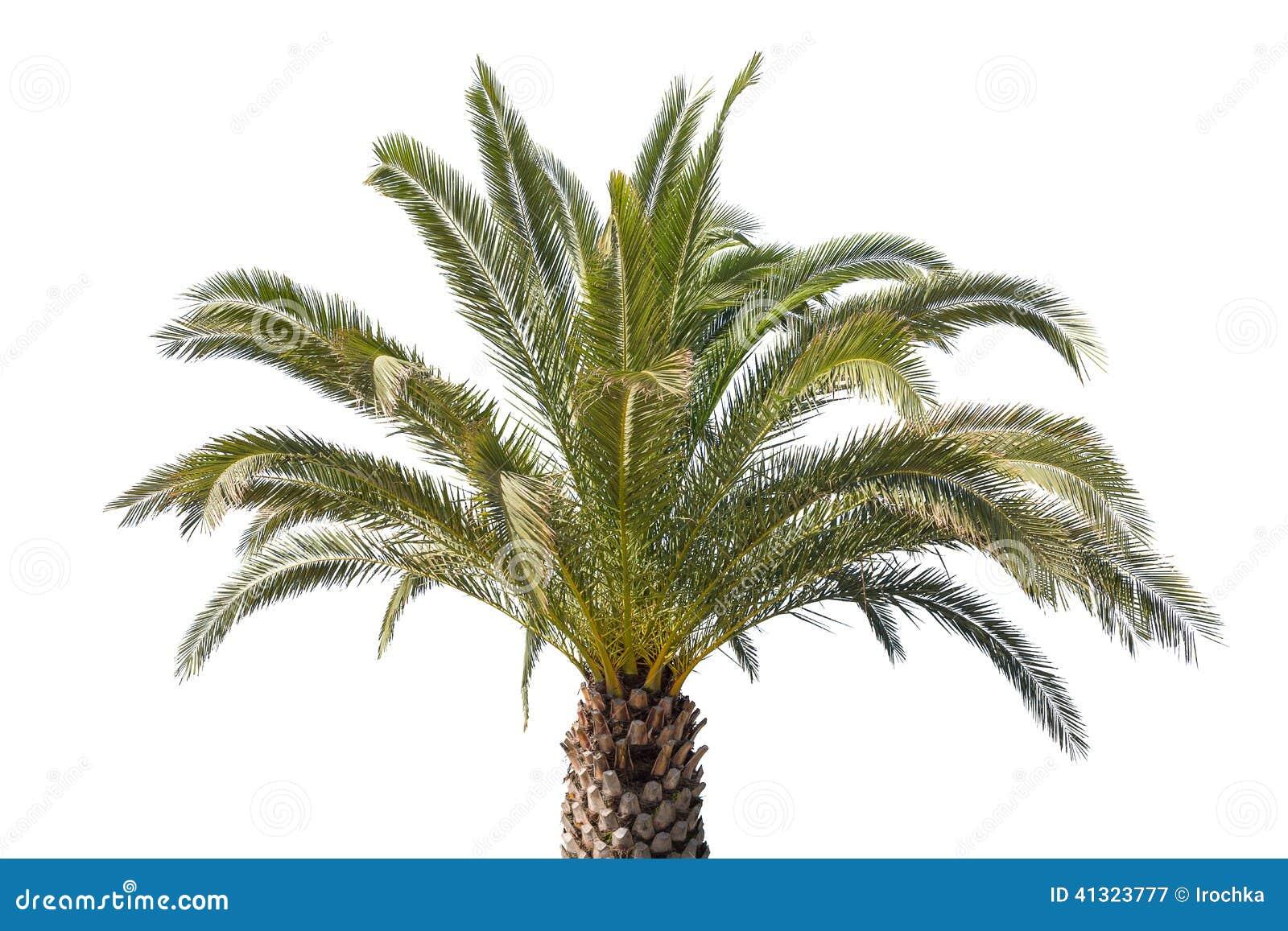 palm tree white - photo #14