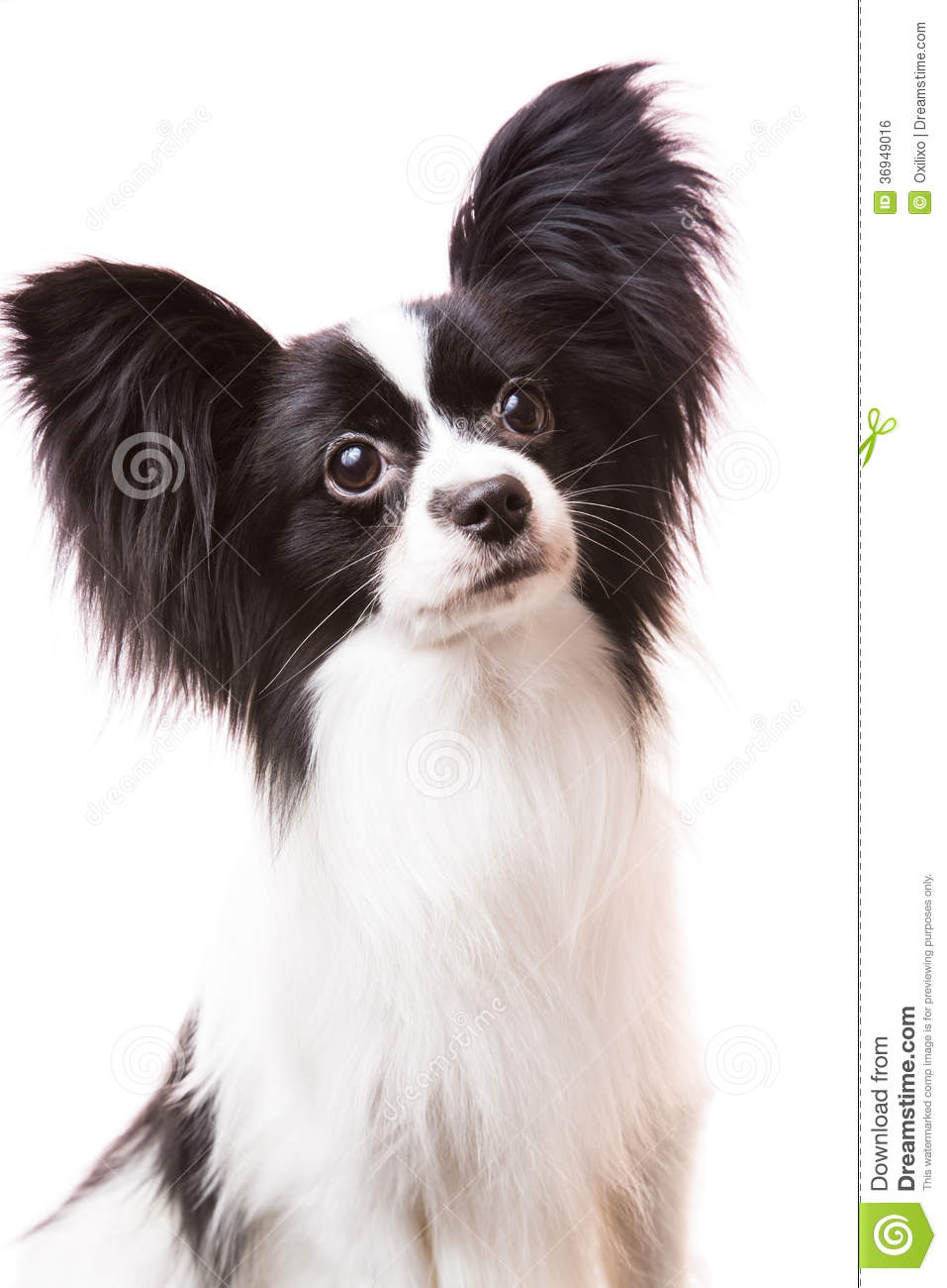 White And Black Dog With Big Snout Breed