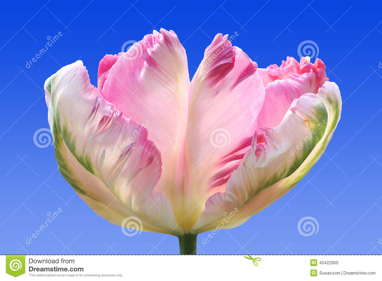 Beautiful parrot tulip, tricolor, against blue sky