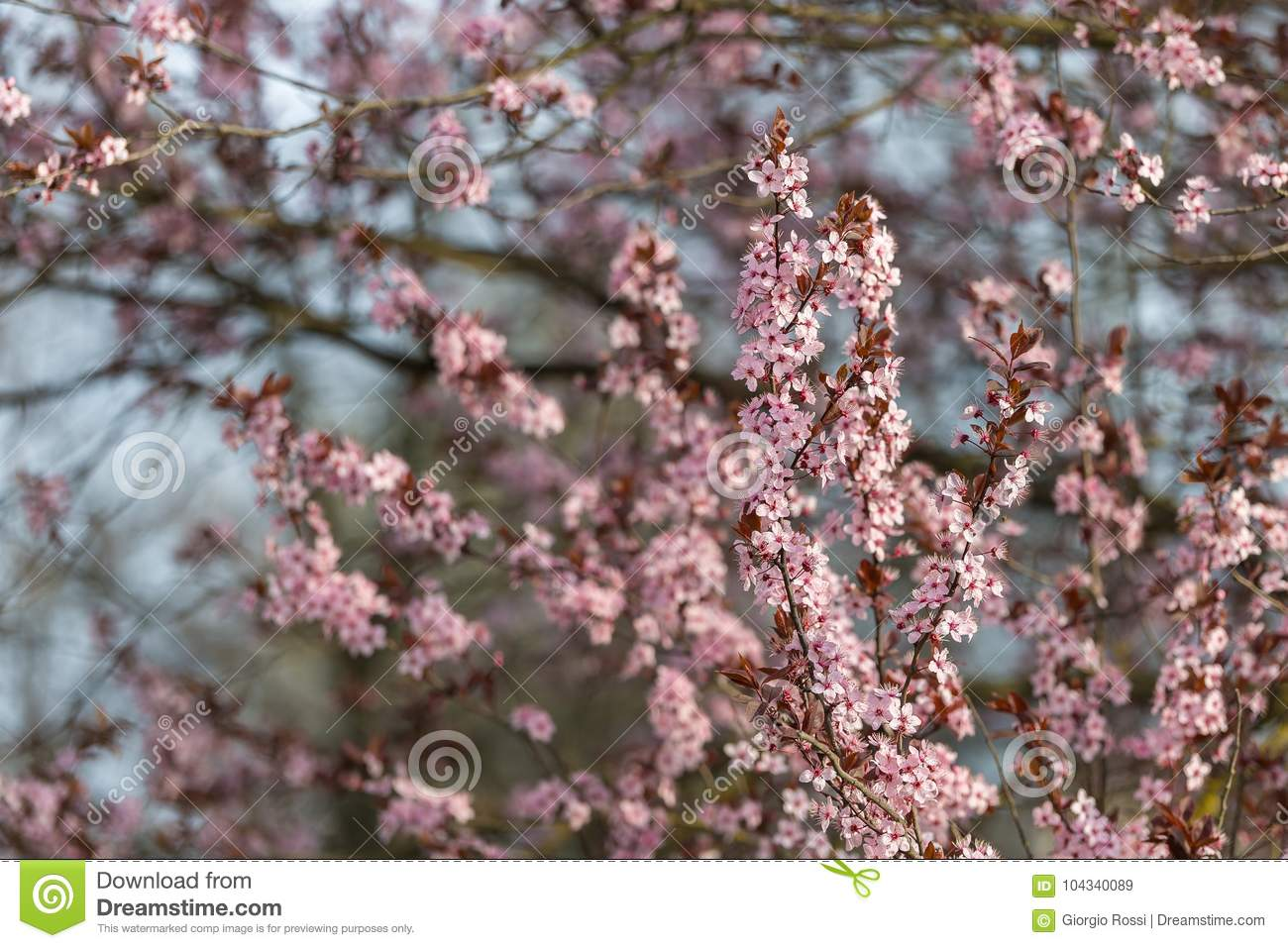 Beautiful Peach Tree With Flowers Early In Spring Stock Image
