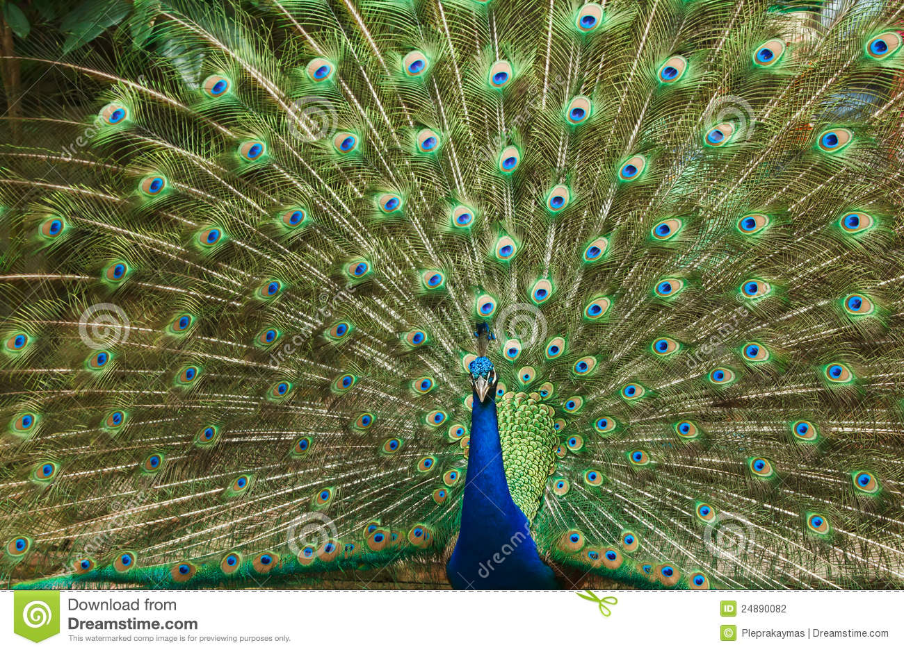 Beautiful peacock feather stock photo image of beak 24890082 - Beautiful peacock feather ...