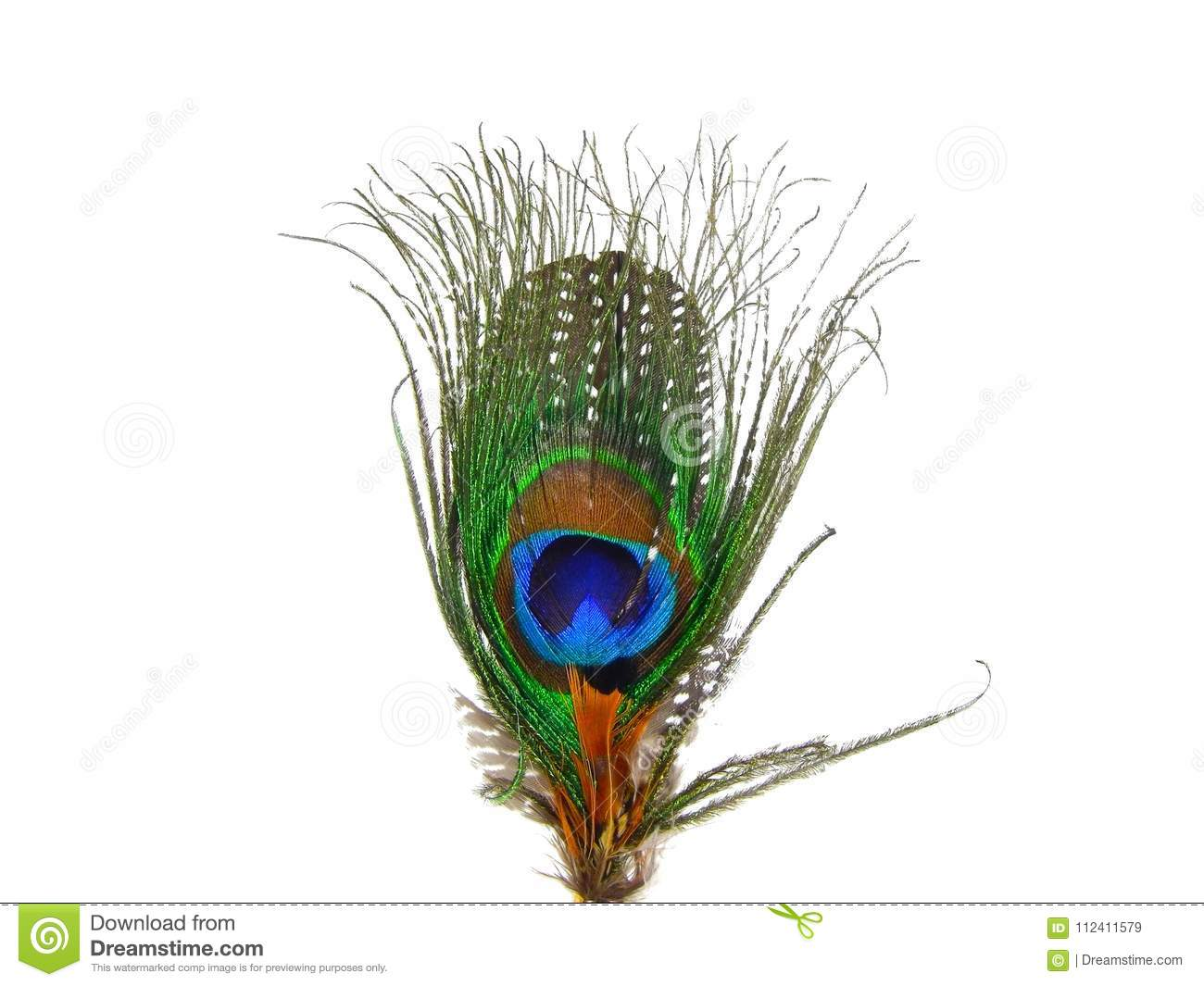 Beautiful peacock feather close up on isolated white background